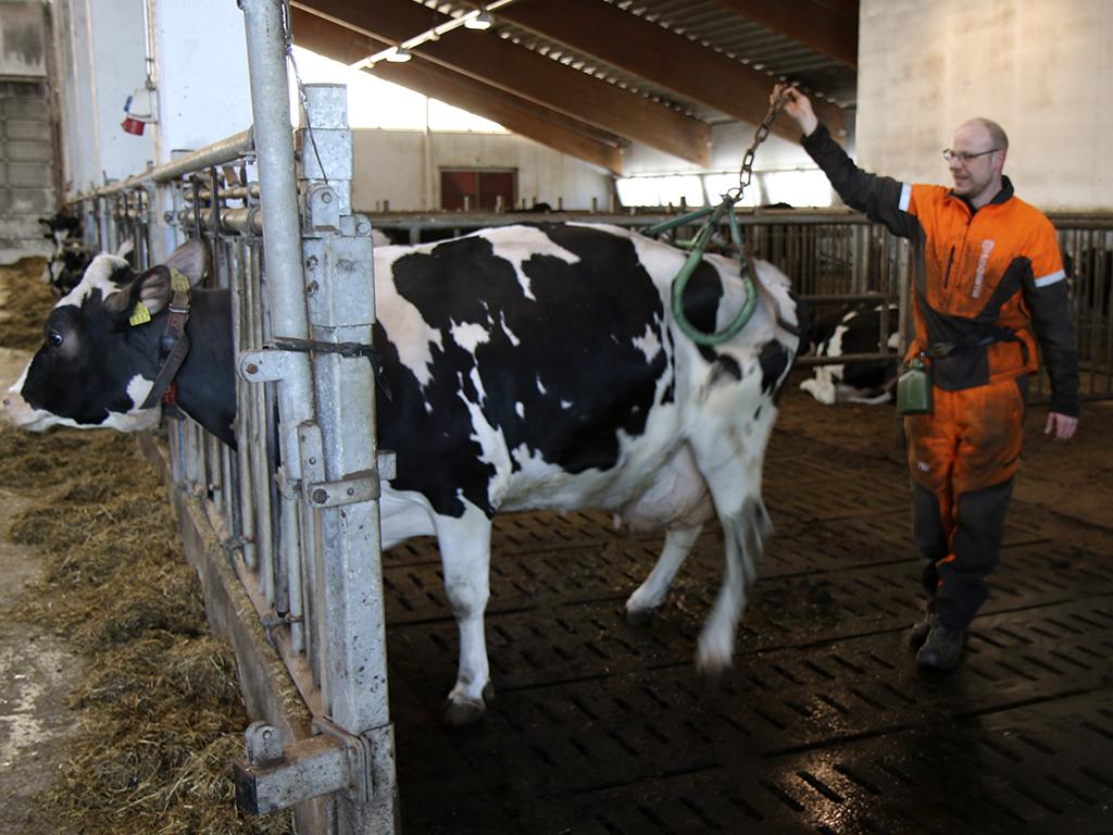 Hannu Gröhn näyttää kuinka laite kiinnitetään lehmän lonkkiin.